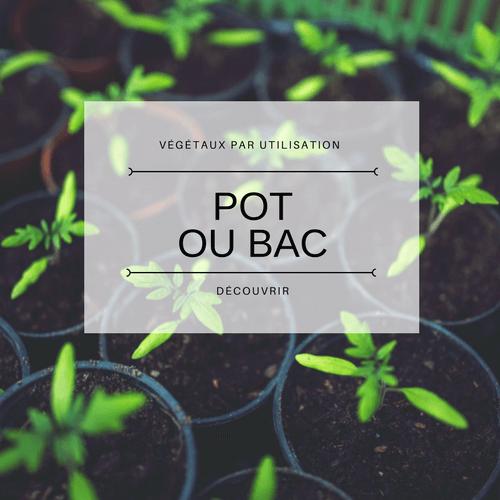 Plante pour pot ou bac
