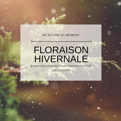 Plante floraison hivernale