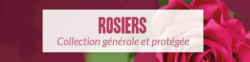 Vente en ligne de rosiers