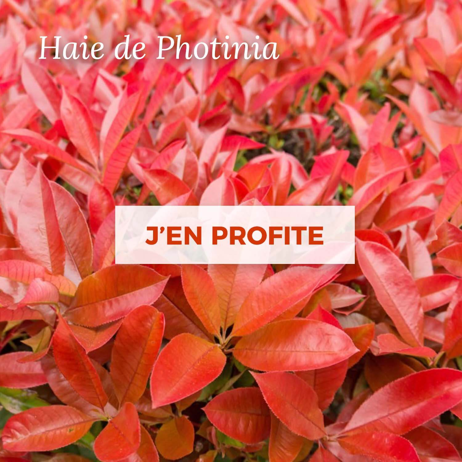 Vente kit haie Photinia