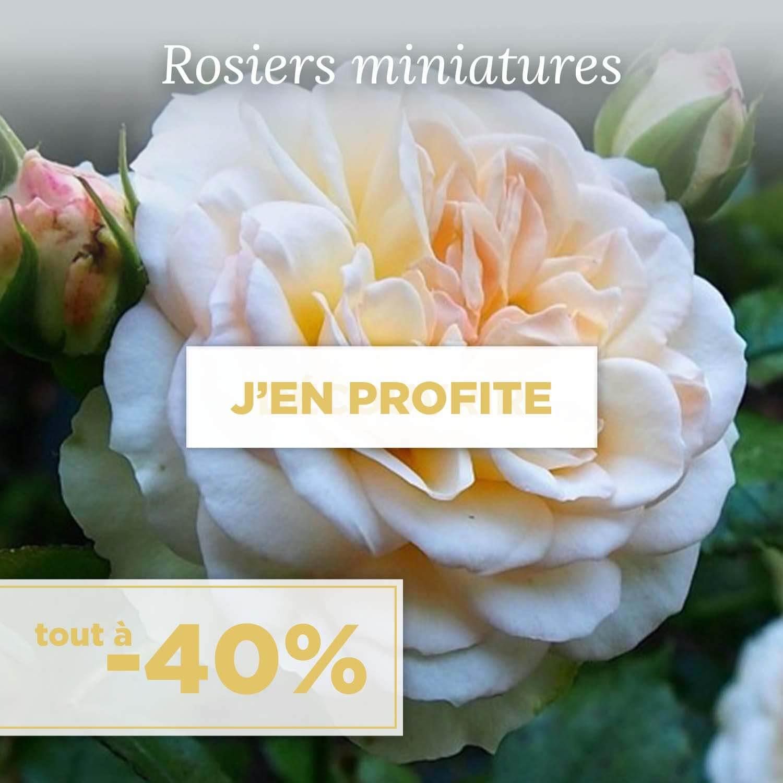 Achat rosiers miniatures