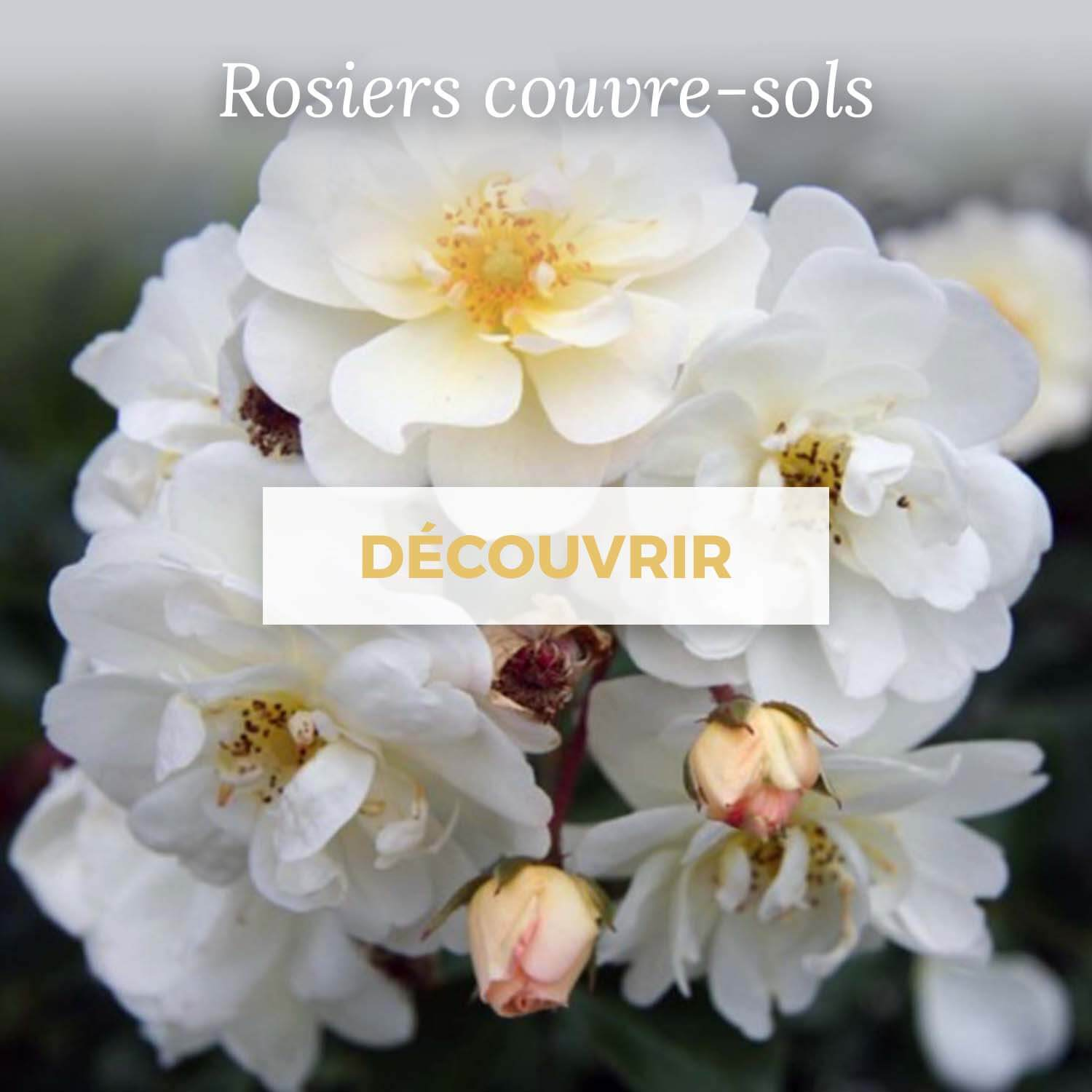 Achat rosier couvre-sol