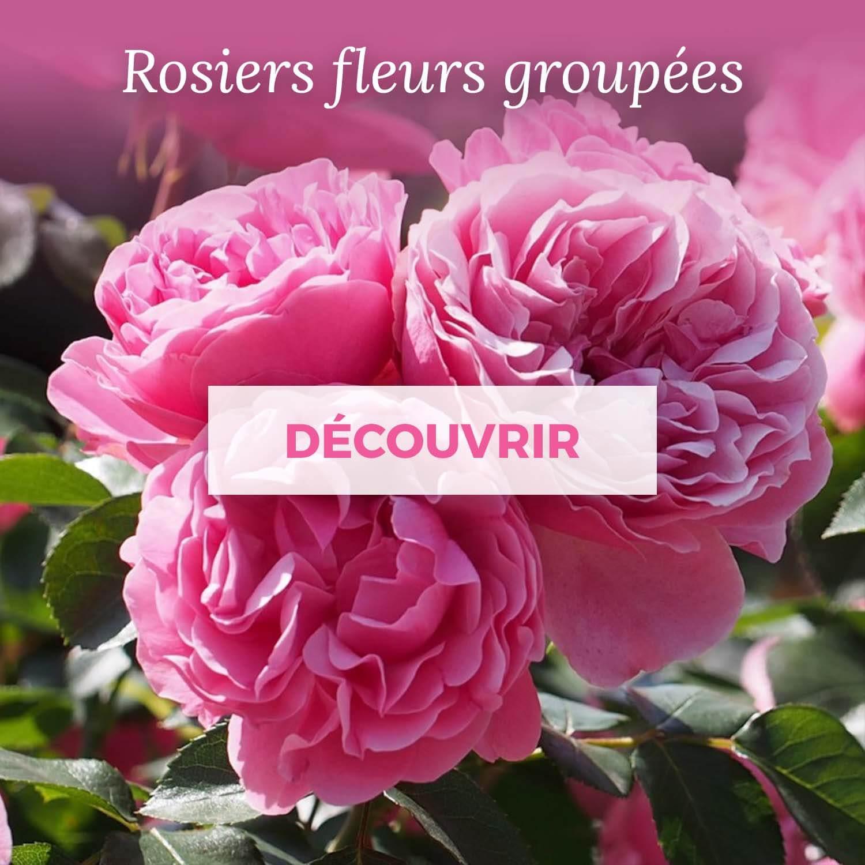 Achat rosier fleurs groupées