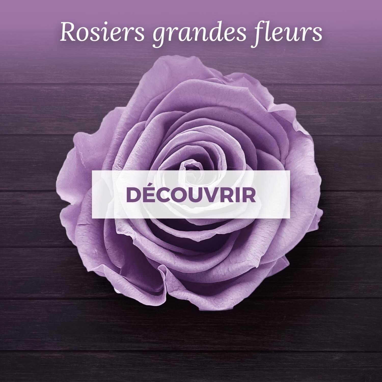 Achat rosiers grandes fleurs