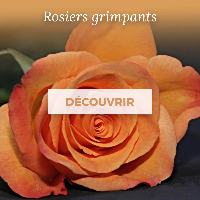 Achat rosiers grimpants