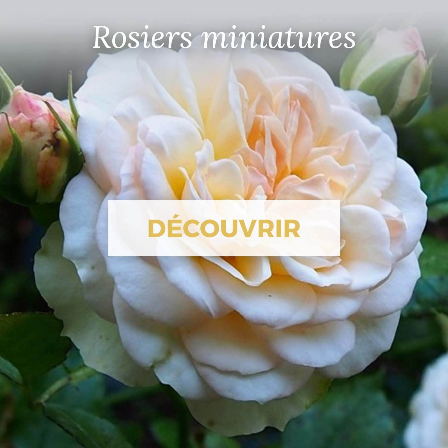 Achat rosiers miniatures