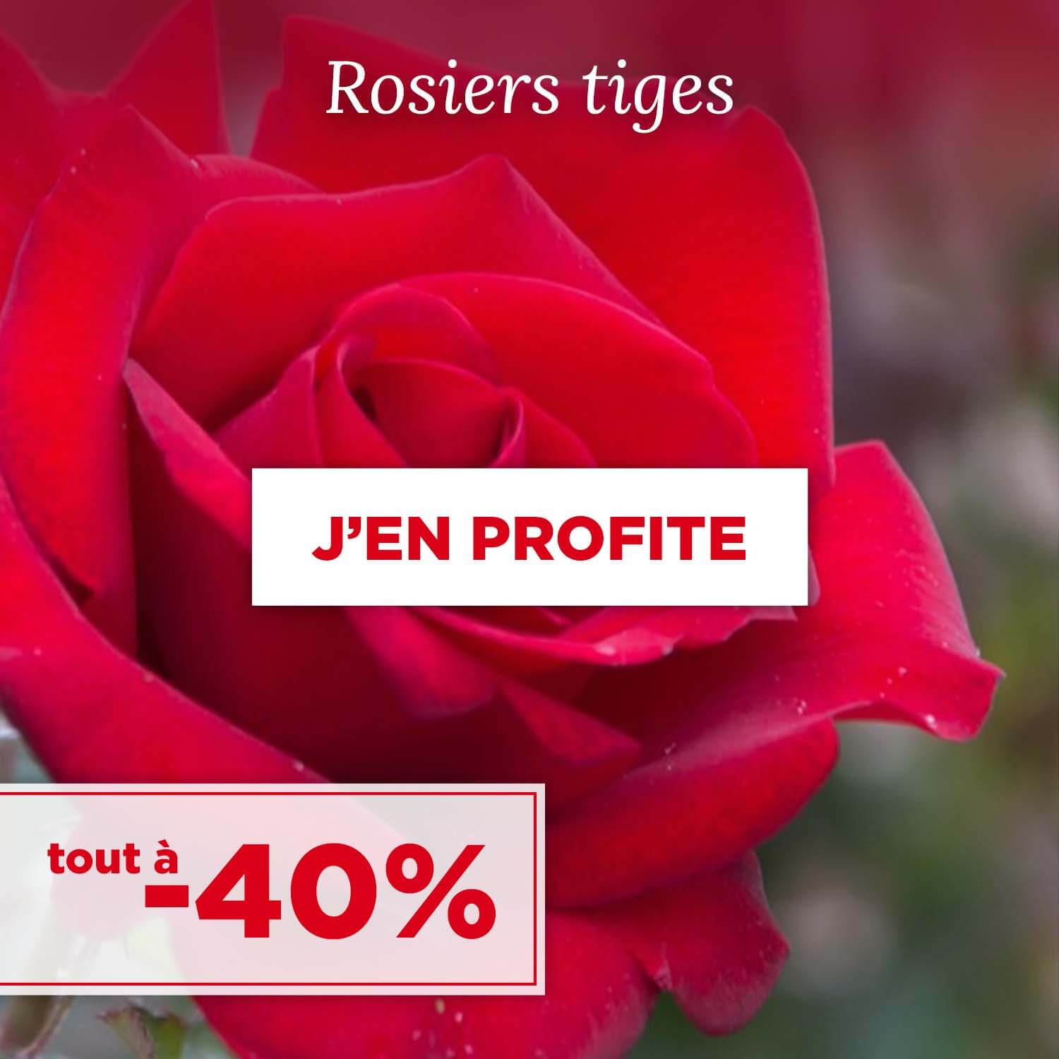 Achat rosiers tiges