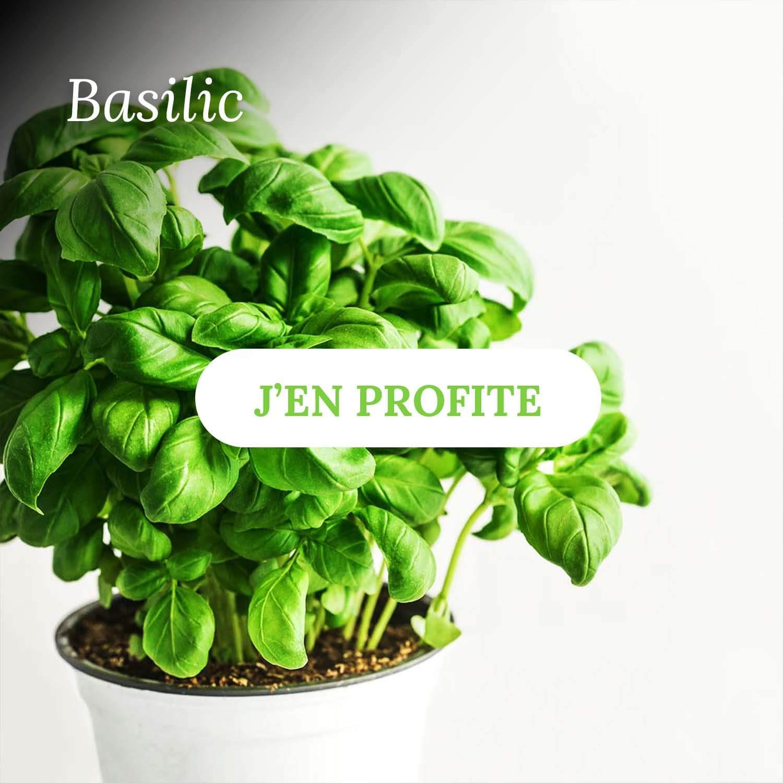 Basilic - Vente d'herbes aromatiques