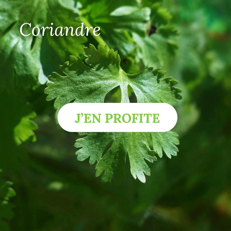 Coriandre - Vente d'herbes aromatiques