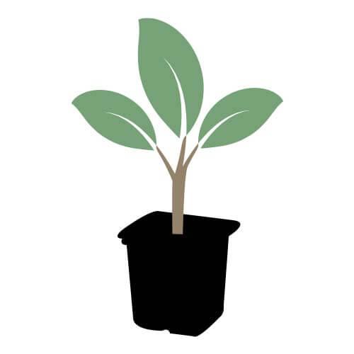 Jeune plant godet forestier