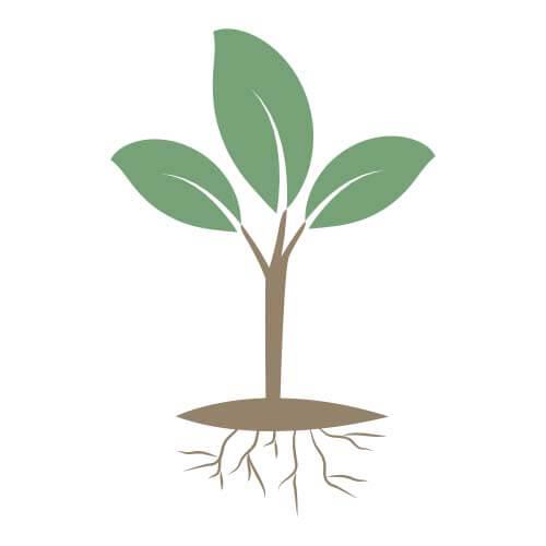 Jeune plant racines nues