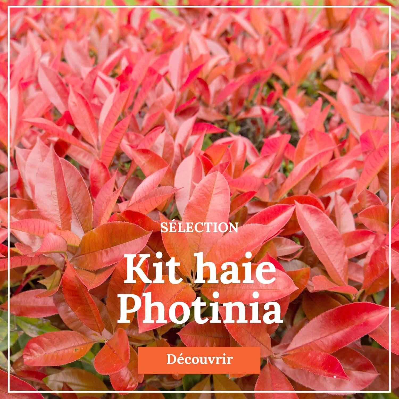 Kit haie Photinia