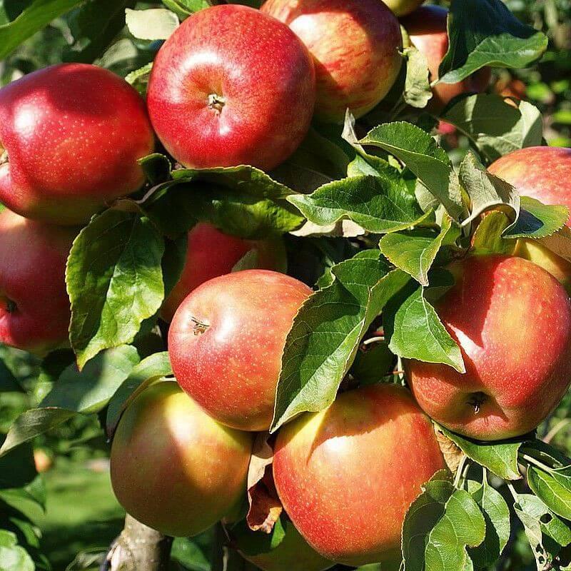 Arbre Fruitier - Pommier Belle de Boskoop