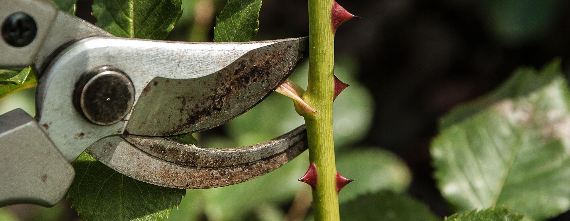 Taillage des arbres en mars - Pépinières Naudet
