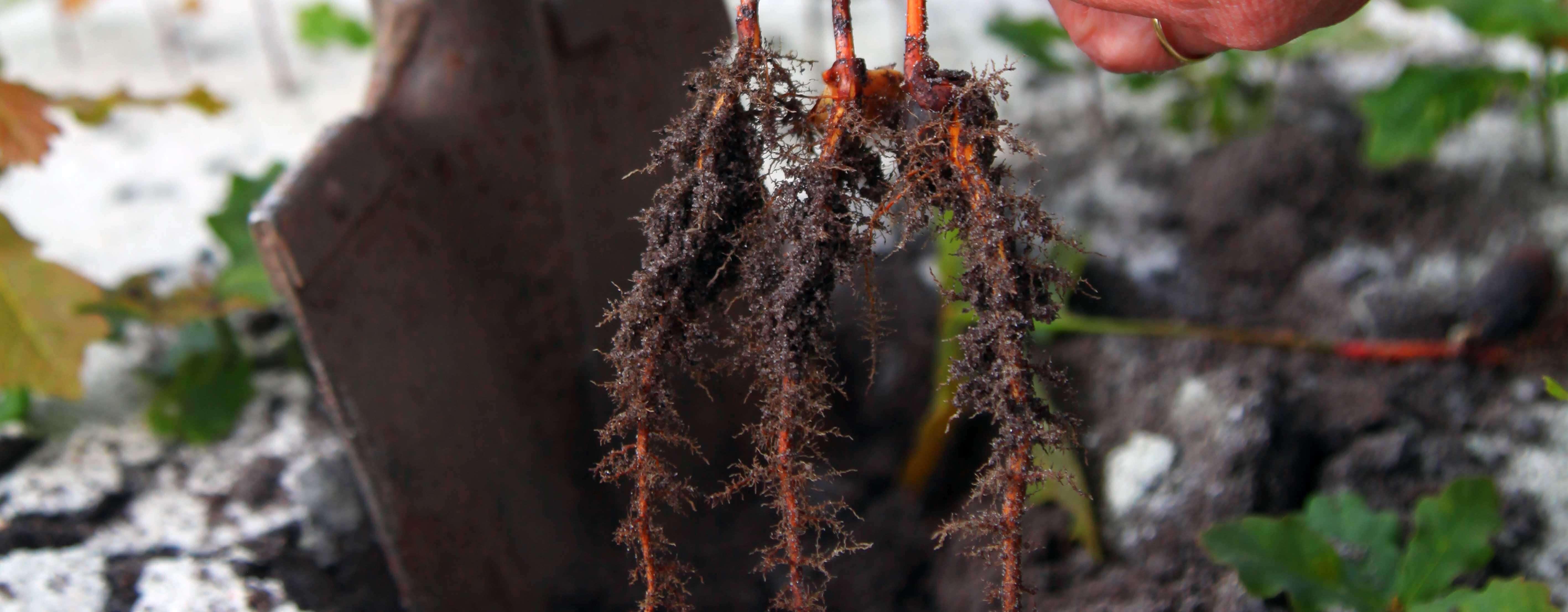 Jeunes plants racines nues
