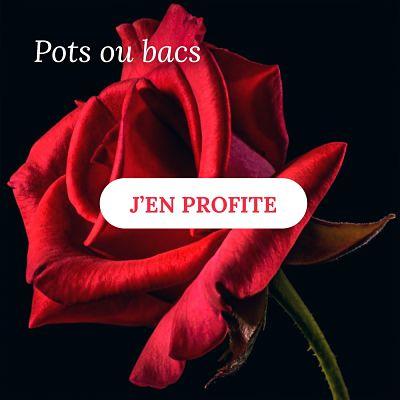 Rosiers pour pots ou bacs - Pépinières Naudet