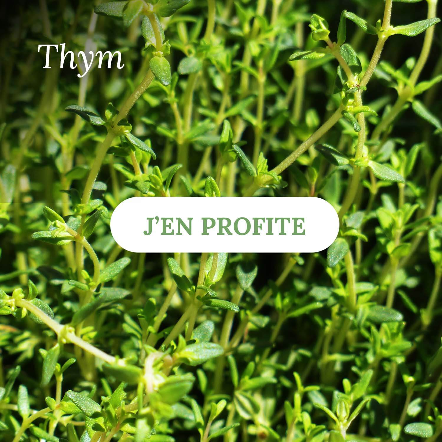Thym - Vente d'herbes aromatiques